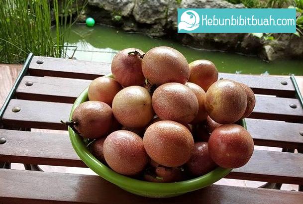 Tanaman Buah Markisa kebun bibit buah