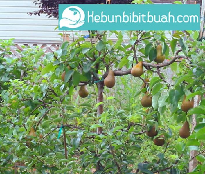 tanaman buah pir kebun bibit buah