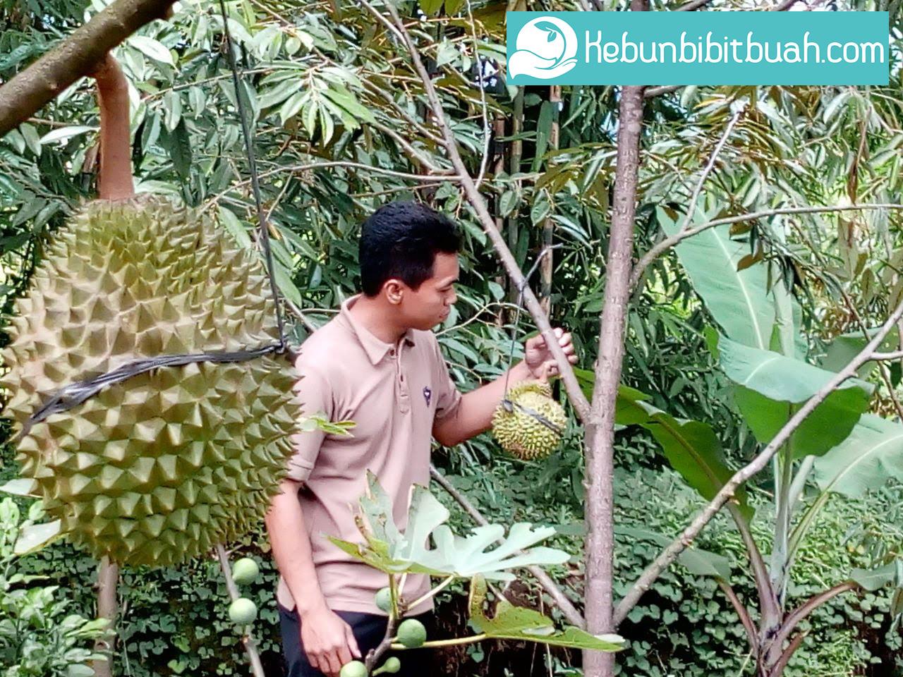 Tips Menanam dan Merawat Pohon Durian Musangking dengan Benar