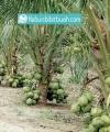 kelapa pandan wangi thailand
