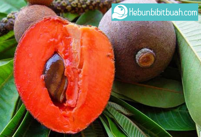 mamey sapote pace