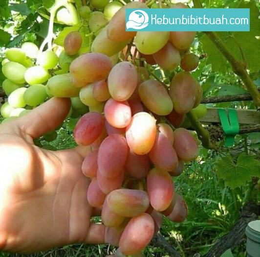 anggur transfiguration