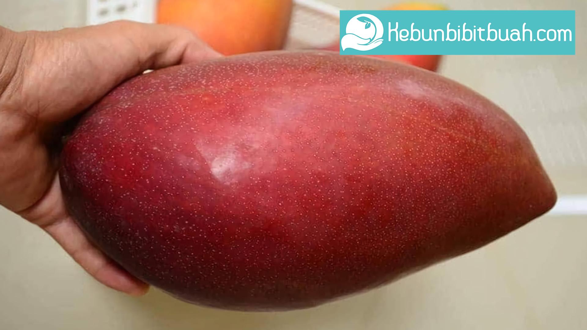 buah mangga jin xing kebun bibit buah