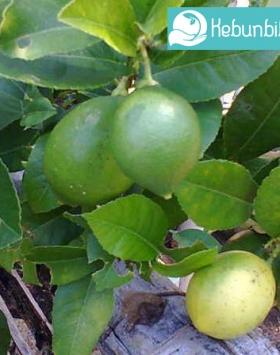 Manfaat dan Khasiat Tanaman Buah Jeruk Nipis