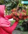 rambutan binjai kebun bibit buah