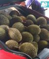 durian d24 kebunbibitbuah.com