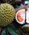 durian merah kebunbibitbuah.com