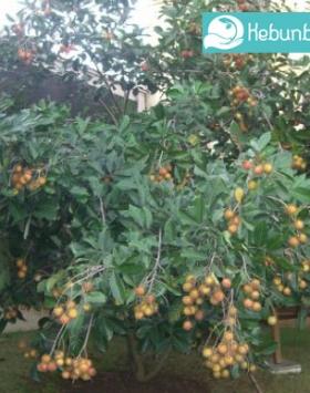 rambutan rapiah kebun bibit buah