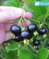 Black Grumichama kebun bibit buah