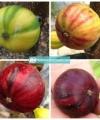 buah tin martinenca rimada kebun bibit buah
