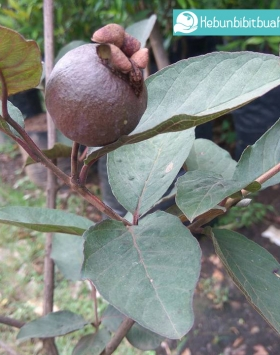 jambu biji australia daun merah kebun bibit buah