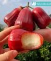 jambu citra kebun bibit buah
