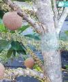 mamey sapote lorito kebun bibit buah