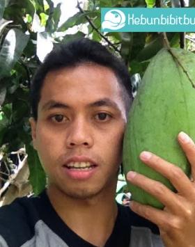 mangga mahathir kebun bibit buah