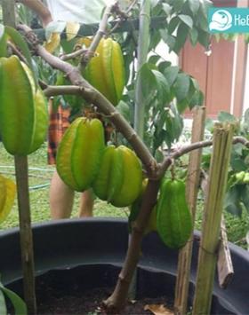 Tabulampot belimbing dewi kebun bibit buah