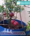 tabulampot delma spanyol kebun bibit buah