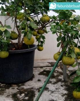 tabulampot jeruk dekopon kebun bibit buahtabulampot jeruk dekopon kebun bibit buah