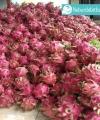 buah naga merah kebun bibit buah
