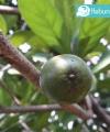 green sapote kebun bibit buah