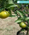 jeruk santang madu kebun bibit buah