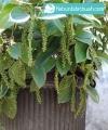 lada perdu kebun bibit buah