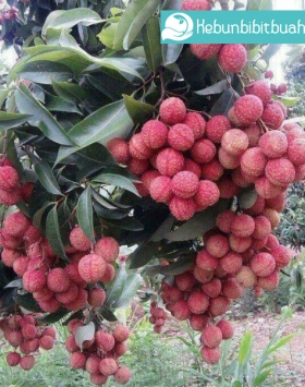 leci kom kebun bibit buah
