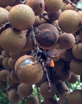 kelengkeng kinglong kebun bibit buah