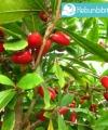 miracle fruit kebun bibit buah