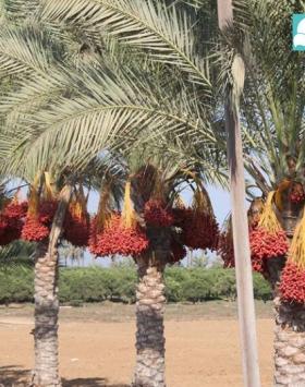 pohon kurma sukari kebun bibit buah