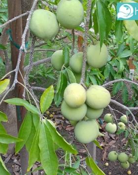 white sapote kebun bibit buah