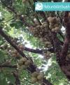 Tanaman Buah Duku kebun bibit buah