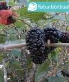 Tanaman Buah Blackberry kebun bibit buah