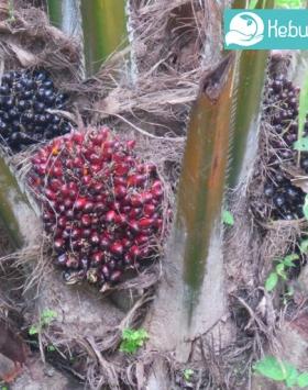 Tanaman Kelapa Sawit Kebun Bbit Buah
