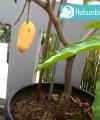 mangga chokanan kebun bibit buah
