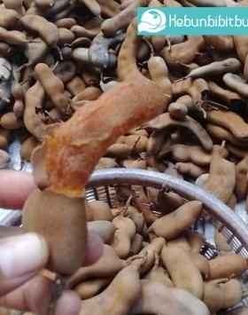 tamarind kebun bibit buah