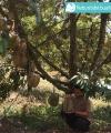 Kelebihan Durian Bawor Wajib Anda Tahu