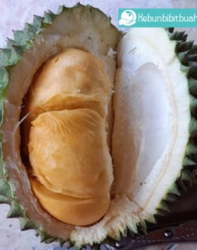 2 Keistimewaan Buah Durian Durian Duri Hitam