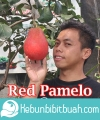 red pamelo pamelo merah