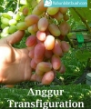 anggur transfigurasi